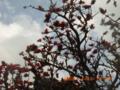 久米島のデイゴ花