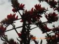 久米島・阿嘉のデイゴ花
