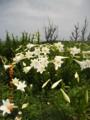 久米島・鳥の口に咲くユリ