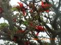 宮古島第一埠頭のデイゴ花