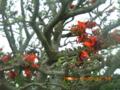 宮古島・西海岸のデイゴ花