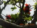 宮古島・熱帯植物園のデイゴ