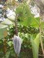 宮古島・熱帯植物園の島バナナ