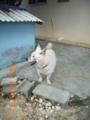 絶滅危惧の大東犬