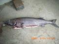南大東島・深海魚・インガンダルマ
