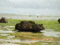 石垣島はアーサーの季節