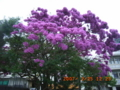 紫のイッペイの木の大木は珍しい!