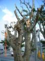 石垣島・新栄公園の無残な姿のデイゴの木