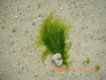 竹富島のアーサーの季節