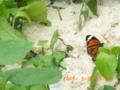 竹富島の冬の蝶