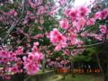 2008年那覇の寒緋桜