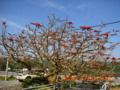 大宜味村・宮城島のデイゴの木