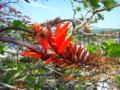 大宜味村・宮城島のデイゴの花