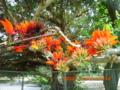 宮古島のデイゴ花は美しすぎる