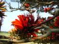 宮古島のデイゴ花圧倒的な美