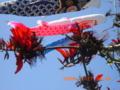 4月の下旬、鯉のぼりデイゴ花