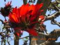 盛りは過ぎたがまだまだ魅力的なデイゴ花