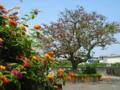 わずかに残った宮古島の見事なデイゴ花