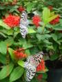 沖縄本島風楽風遊の森の蝶