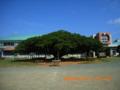 沖縄列島一のガジュマルの木