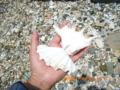 渡名喜島の貝の欠片