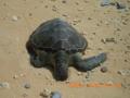 渡名喜島の海岸で見つけた海がめの死体