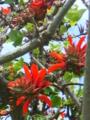 伊平屋村役場のデイゴの花