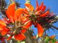 琉球弧で遭遇したデイゴの花で一番か!