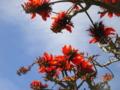 伊平屋島デイゴの花