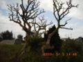伊是名島の伊平屋番所跡の枯れたデイゴの木
