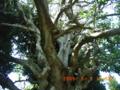 沖縄一古いデイゴの古木