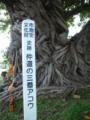 石垣島、仲道三番アコウの木