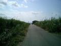 2004.1.14波照間島のサンゴ礁まで続くキビ畑