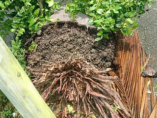 ゆいロード沿いの台風による倒木
