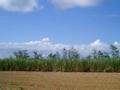 波照間島のキビ畑に吹く風の優しさは格別