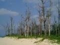 宮古島・前浜ビーチ背後の台風被害の中高木たち