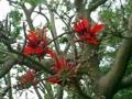 うりずん宮古島・更竹・リハビリ温泉病院前のデイゴの花