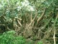 鳩間島・素朴なガジュマルの巨木