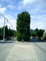 久米島・真謝のチュラフクギ並木