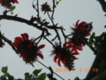 石垣島の生き残ったデイゴ花