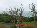 石垣島玉取崎の枯れたデイゴの木