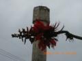 石垣島の公営住宅のデイゴ花