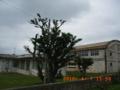 池間小中学校のデイゴ