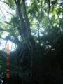 知花グスク跡のガジュマル