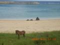 与那国島・比川浜の与那国馬
