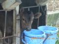 黒島の産まれたばかりの小牛