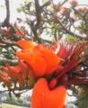 伊是名島のデイゴ花2009.05