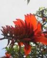 伊是名島のデイゴの花