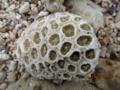 石垣島・大浜海岸のサンゴ