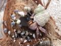 石垣島・大浜海岸の椰子の実とカニ達